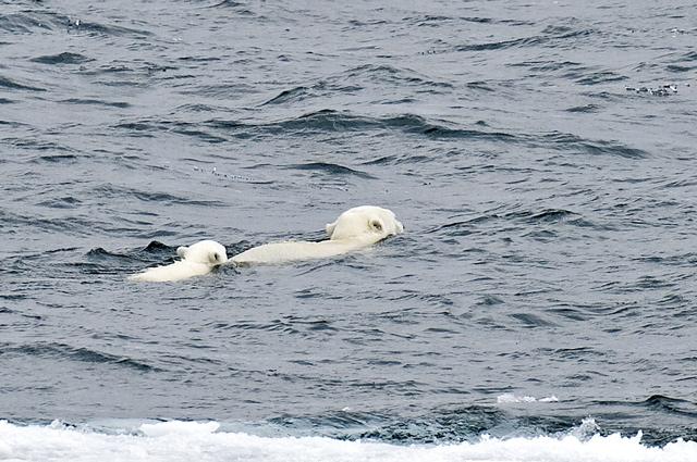 Melting kingdom of the Polar Bear