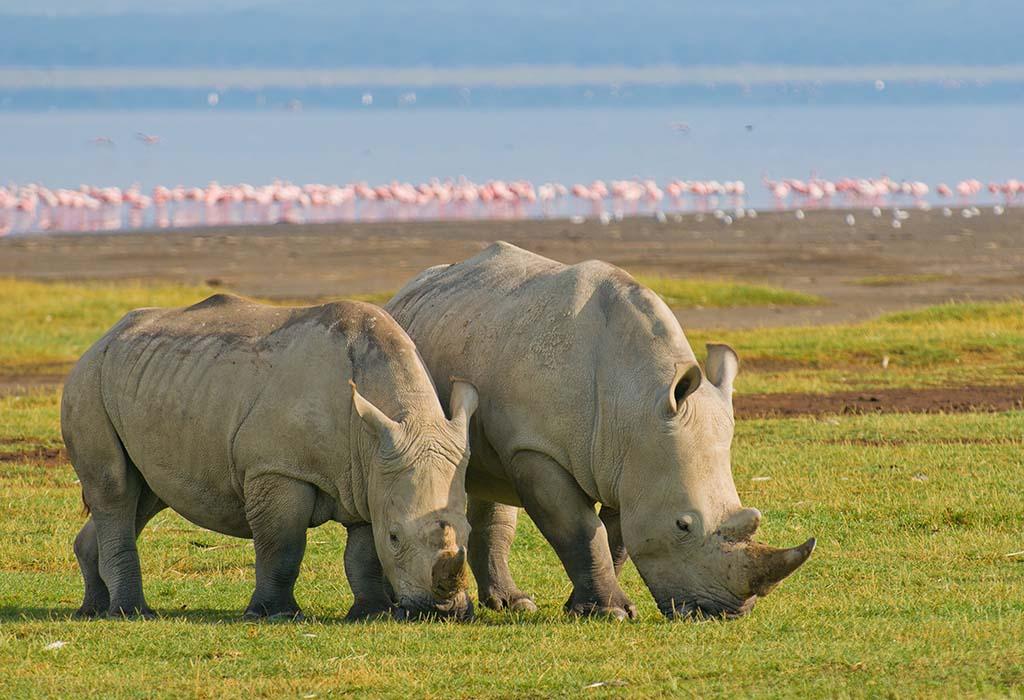 A pair of African Rhinoceros