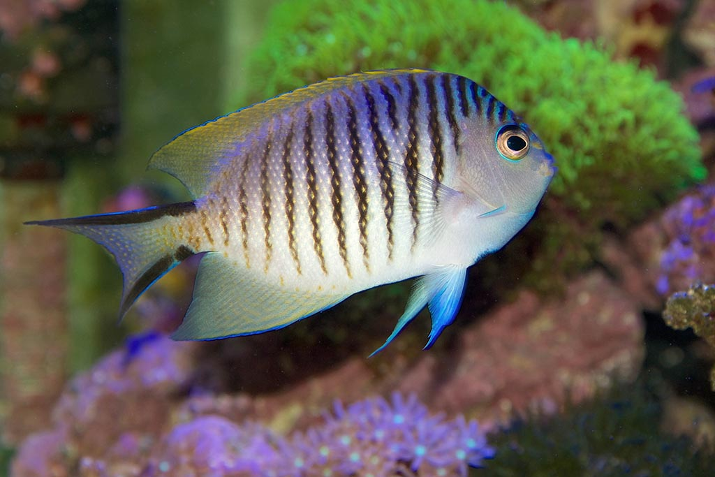 Blackspot Angelfish: A tropical marine fish