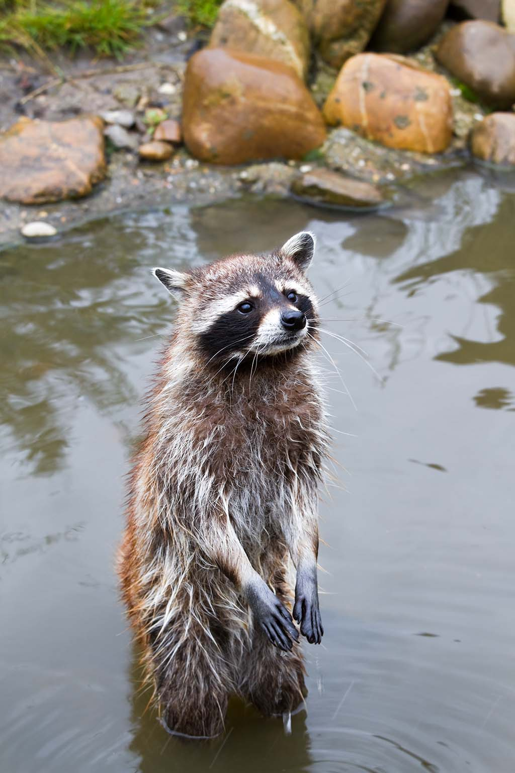 Do raccoons wash their hands before they eat pitara for Do raccoons eat fish