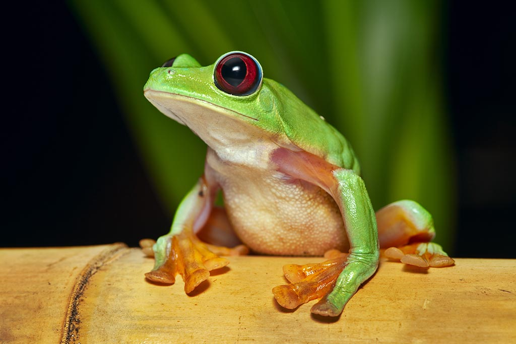 Flying or gliding tree frog is an endangered amphibian.