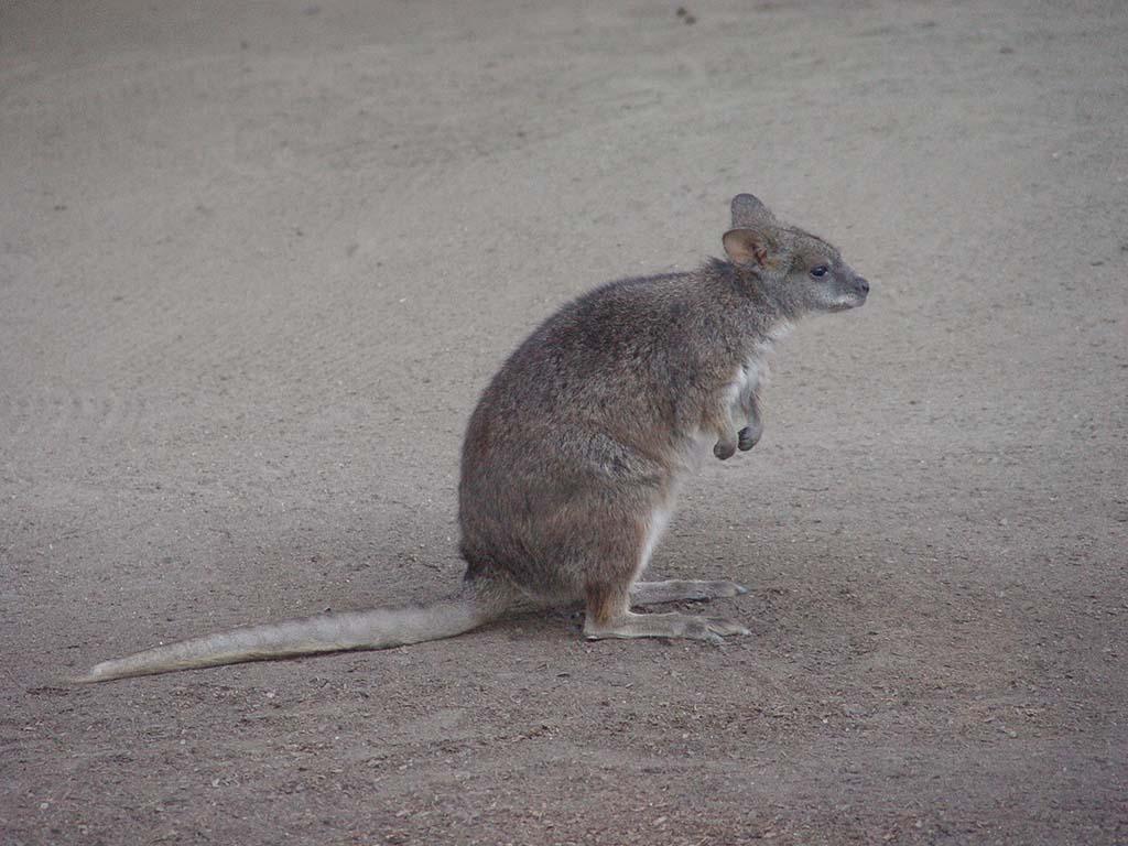 what is a kangaroo rat pitara kids network