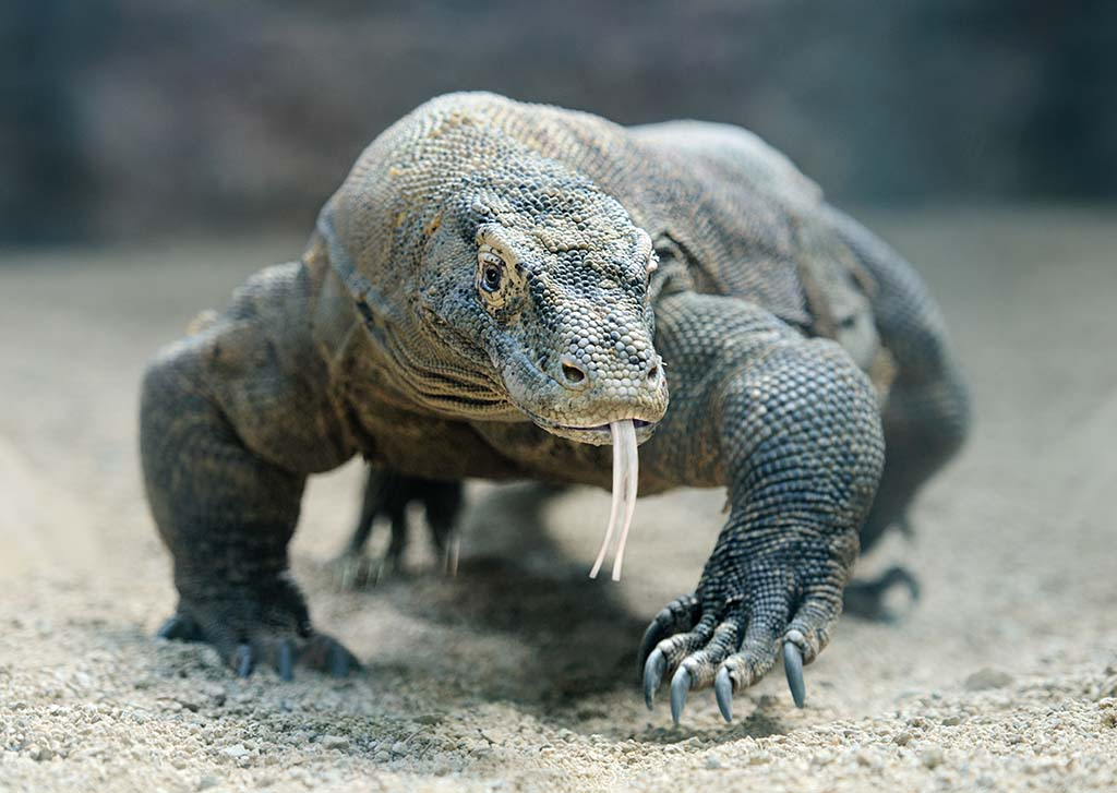 The Komodo dragon (Varanus komodoensis), also known as the Komodo monitor, is the largest living species of lizard, growing to a maximum length of 3 metres (10 ft) in rare cases and weighing up to approximately 70 kilograms (150 lb).