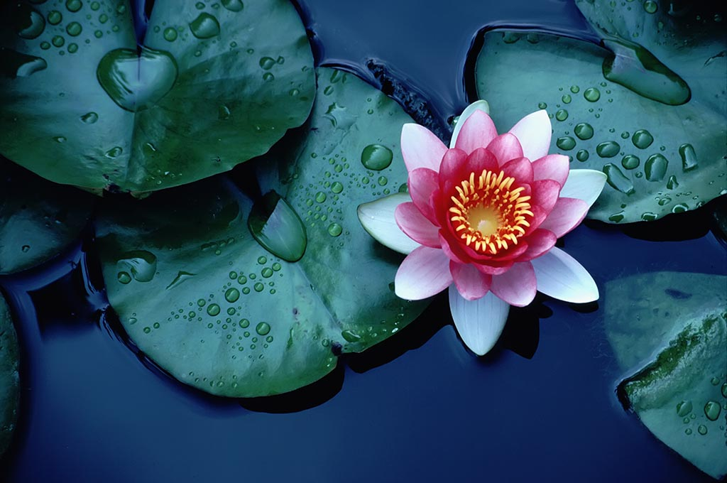 how does the lotus flower clean itself?  pitara kids network, Beautiful flower
