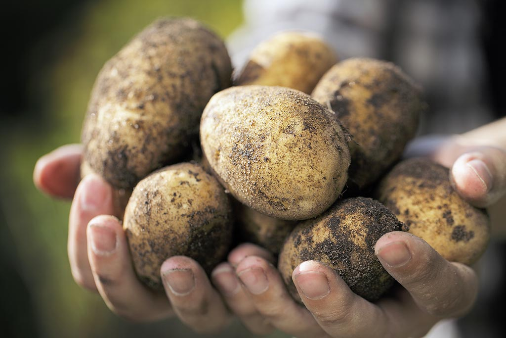 Farmer holding harvested dirty potatoes in his hands.