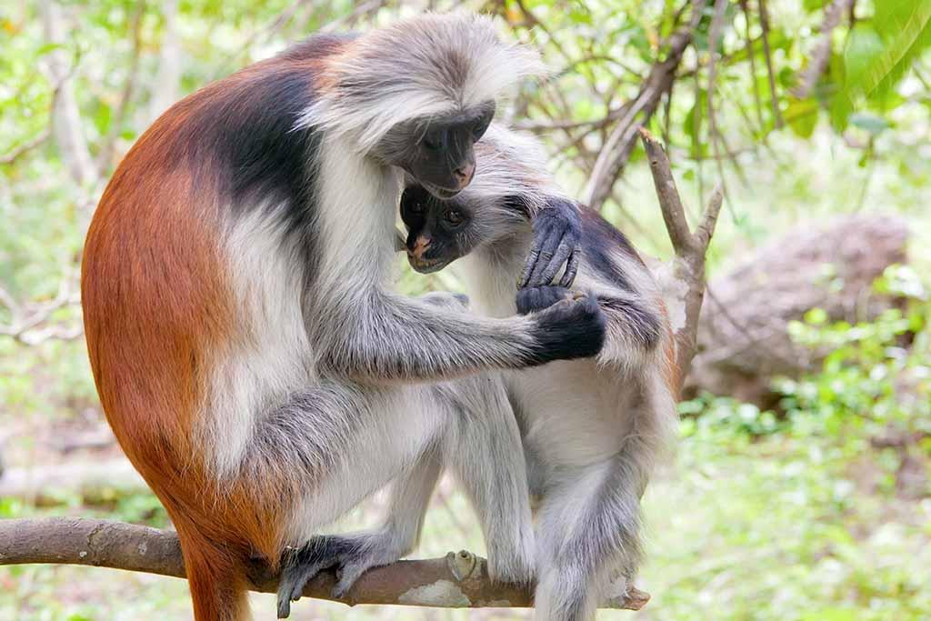 Is The Red Colobus Monkey Extinct Pitara Kids Network