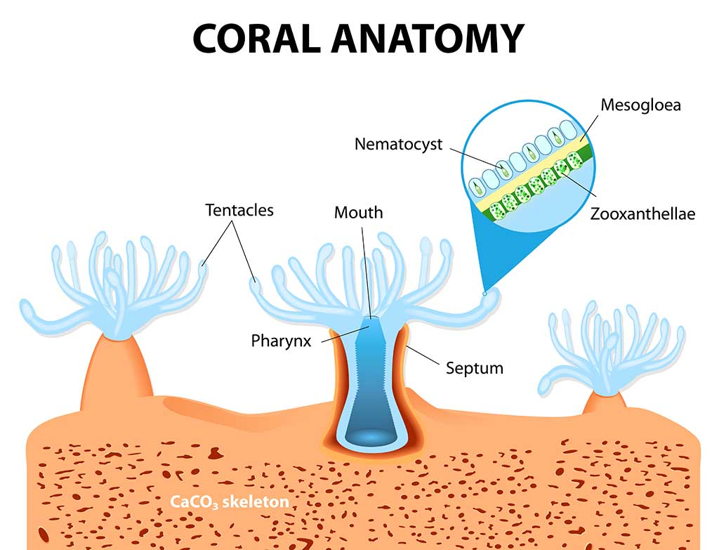 Structure of coral polyp. The coral polyps tend to live in colonies and form the building blocks of the reef.