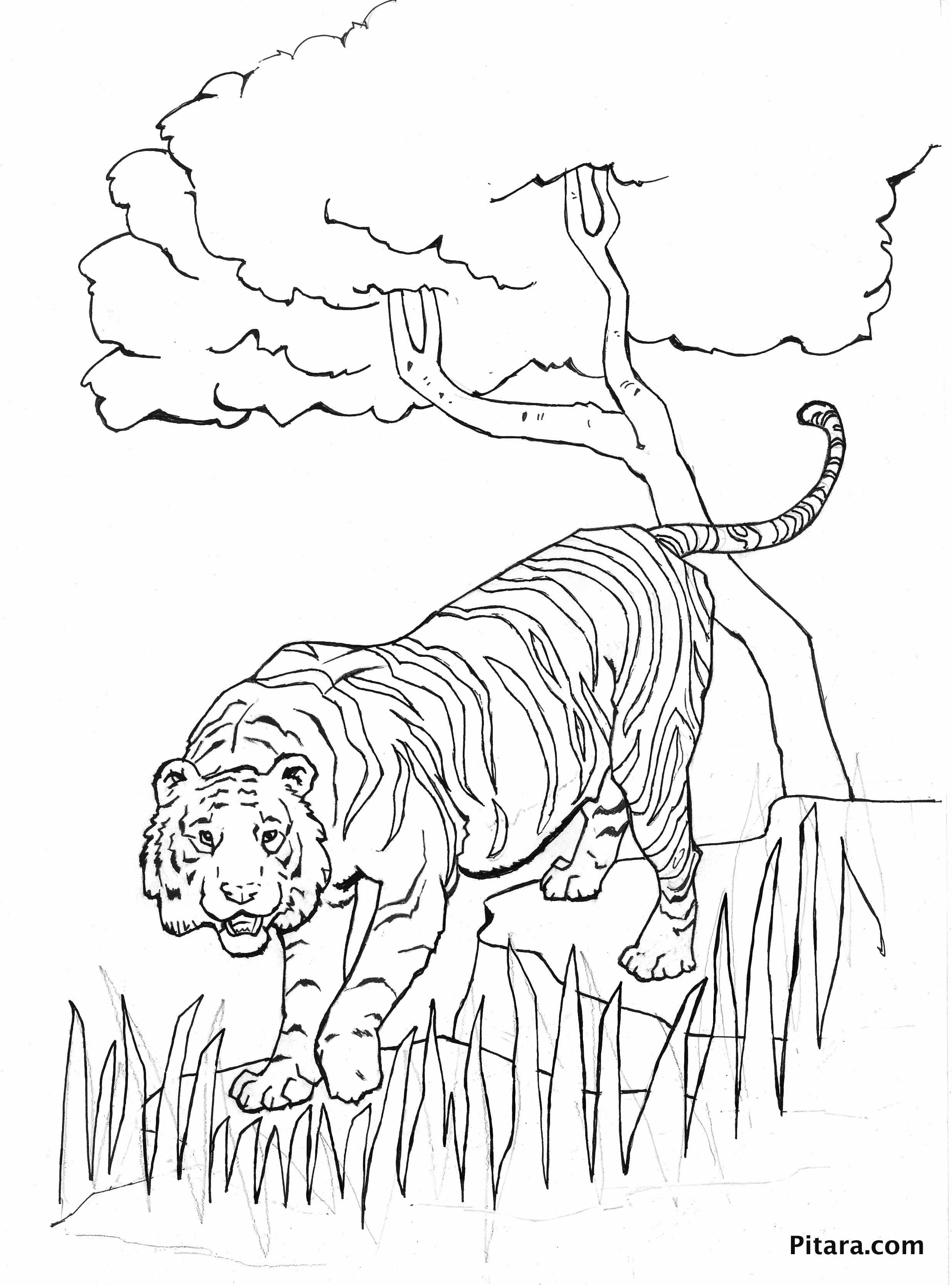tiger u2013 coloring page pitara kids network
